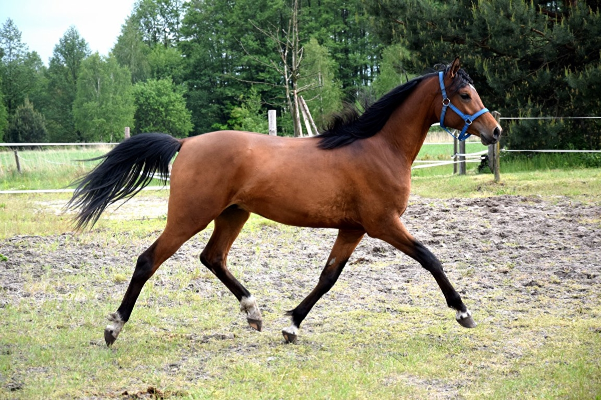 Gelding Arabian Horse Bay 2 Years Old For Sale